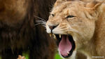 Lioness 2 - Lioness growling